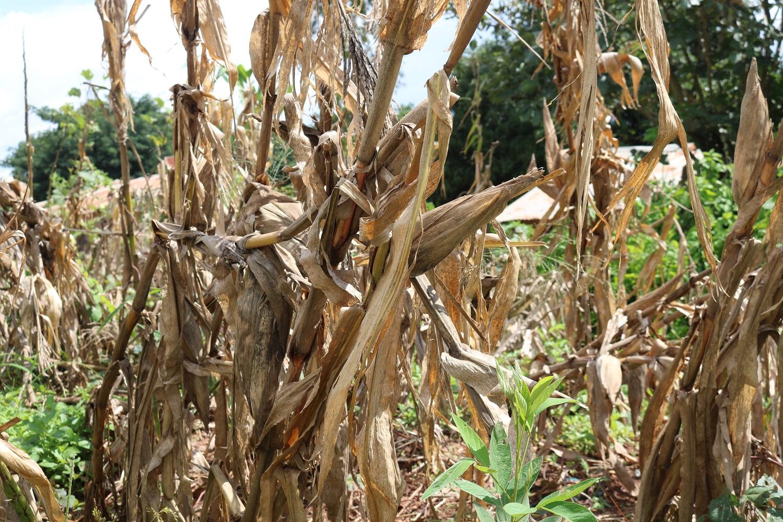 Piante di mais rovinate dal passaggio del ciclone Idai.