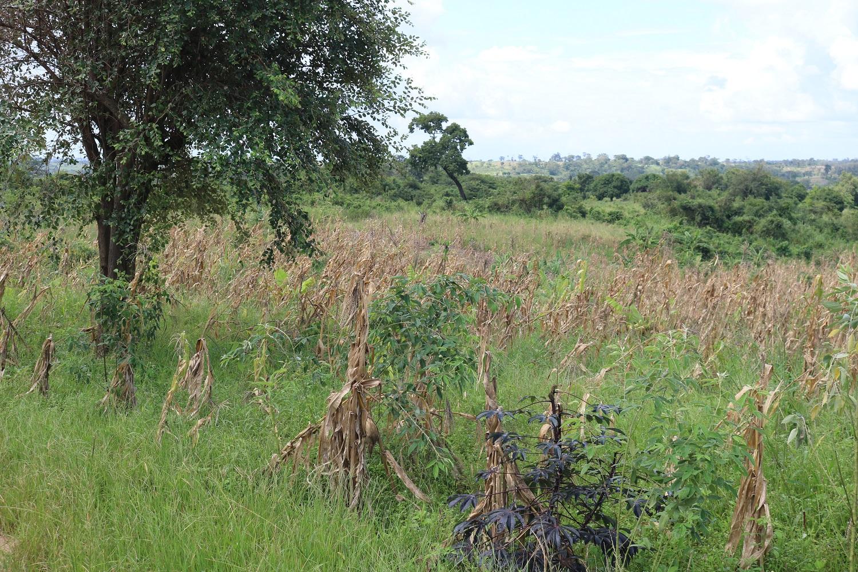 Un campo di mais devastato dal passaggio del ciclone Idai